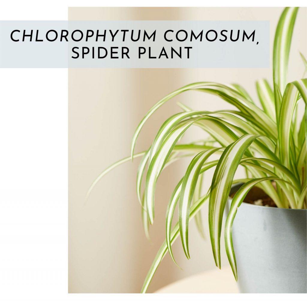 modern interior design spider plant